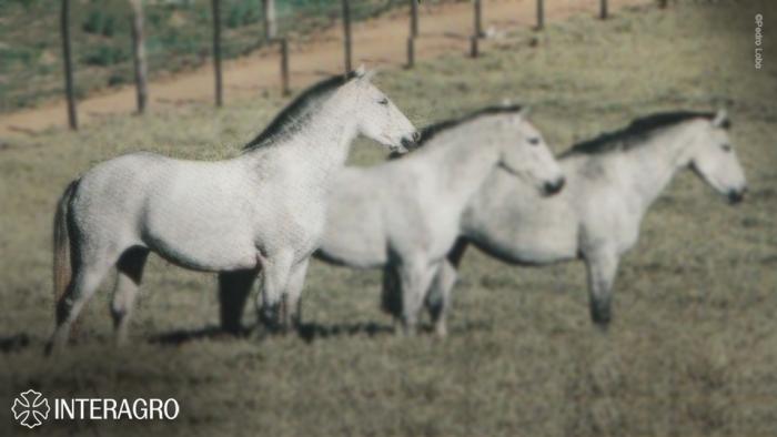 Ulisseia (RC). Foto Pedro Lobo , retirada do livro O Cavalo Lusitano, pág 35